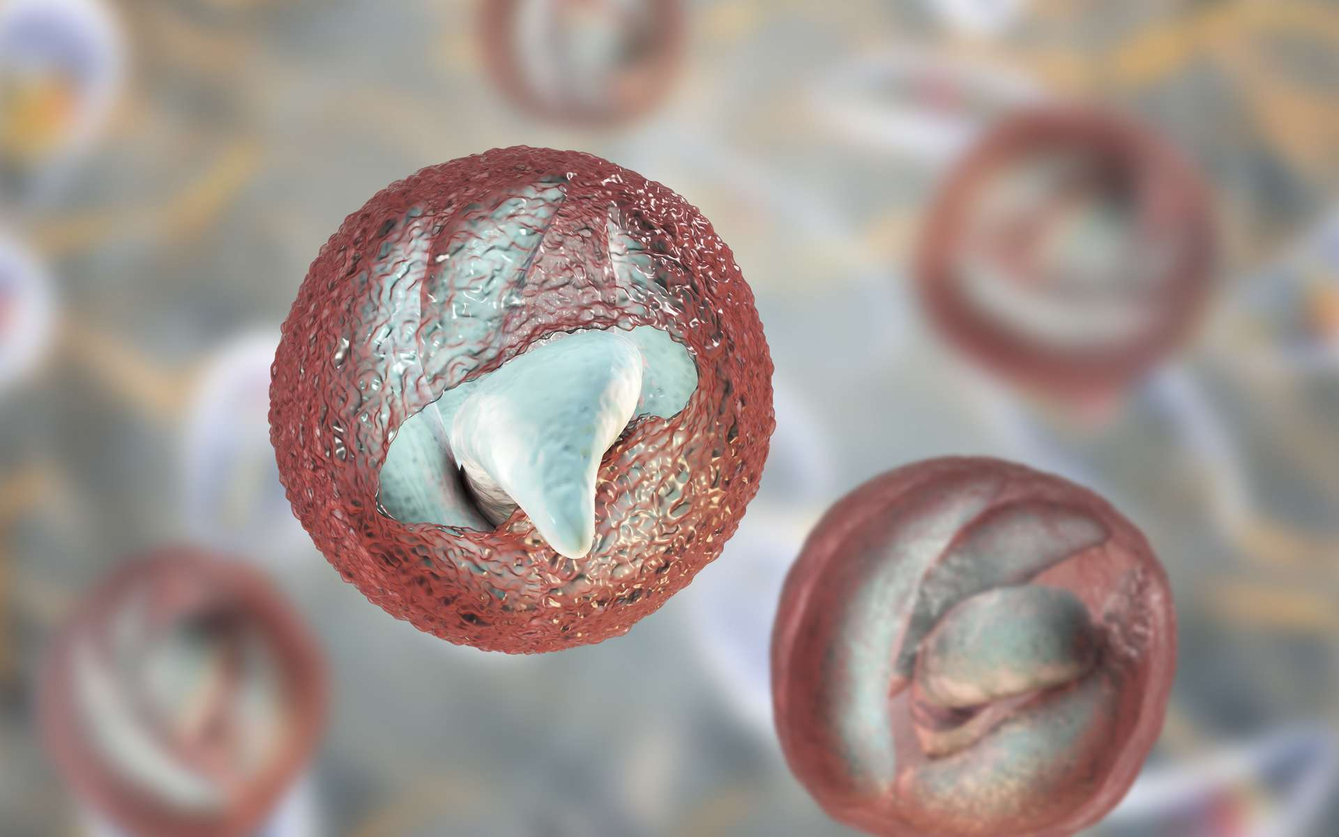 Chaque oocyste contient quatre sporozoïtes infectieux. © Kateryna Kon, Adobe Stock
