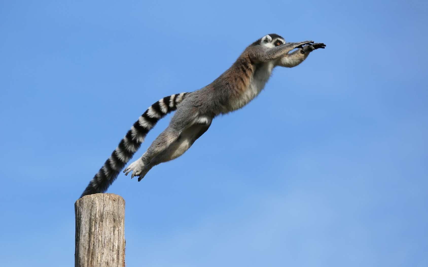 Les populations de lémuriens sont en fort déclin à Madagascar, principalement à cause de la destruction de leur habitat. © Patrick J., Fotolia