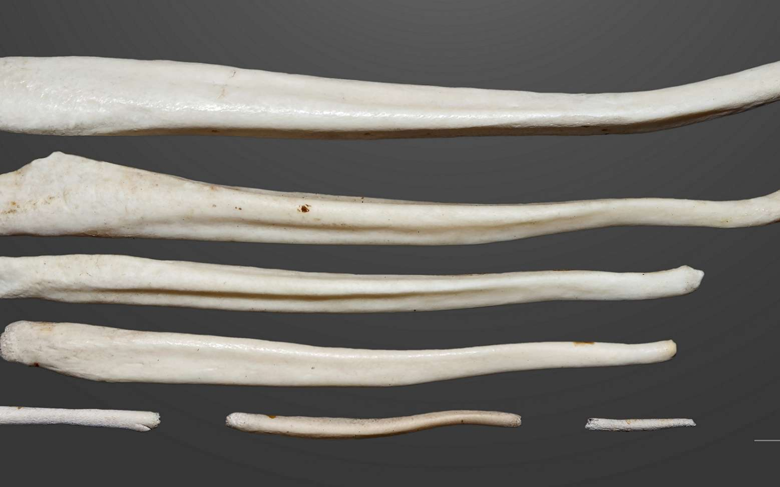 Os péniens de mammifères. © Didier Descouens, Muséum de Toulouse, Wikipedia, CC BY-SA 4.0