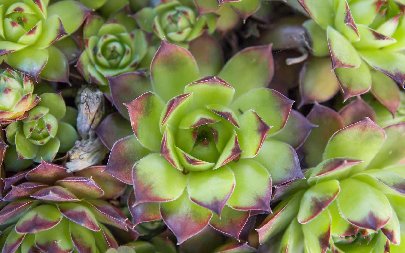 La joubarbe est une plante succulente ne nécessitant pas d'entretien particulier. © santiago silver, Fotolia