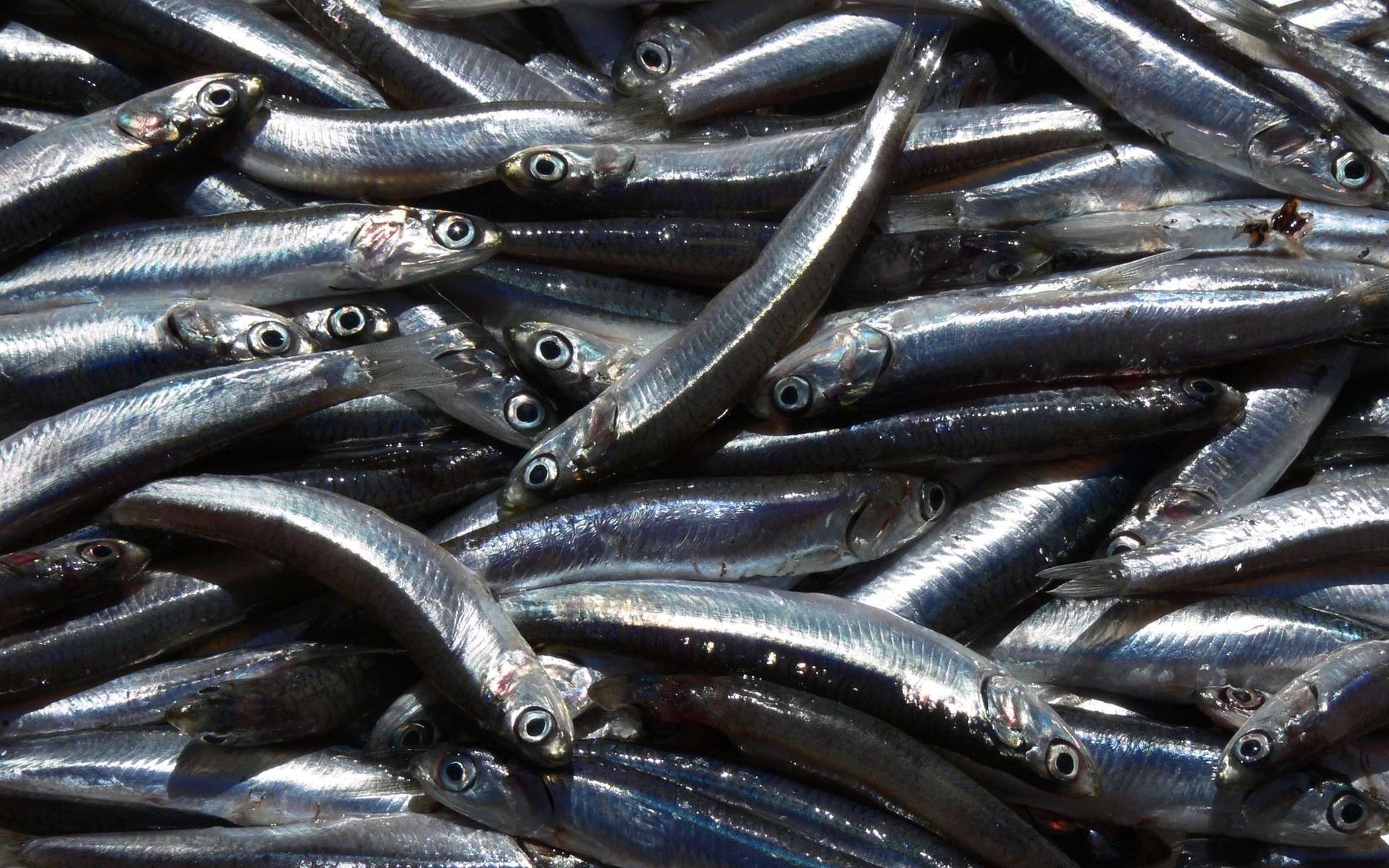 La sardine est le quatrième poisson le plus pêché dans le monde. © Céline Deluzarche