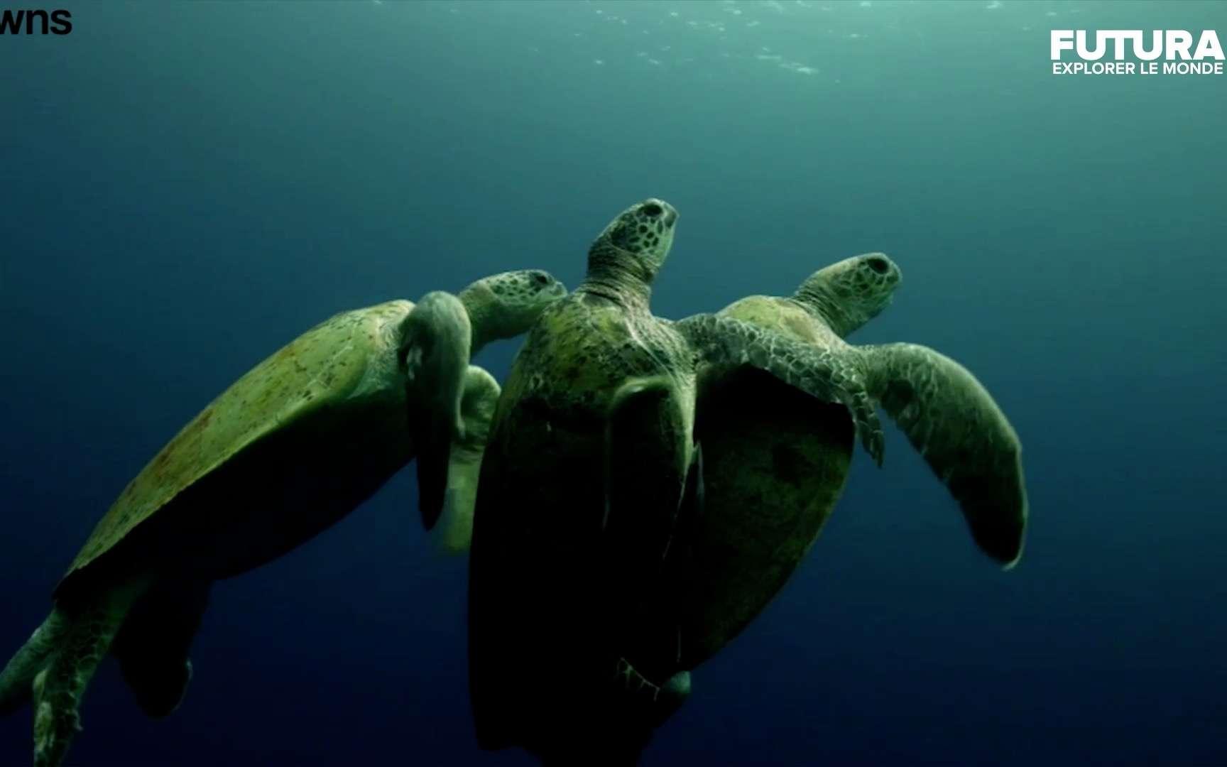 Une tortue mâle vient perturber l'accouplement d'un couple ©SWNS-Wochit