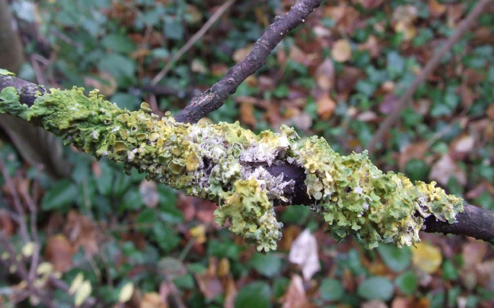 Le lichen décrit une relation symbiotique entre un champignon et une algue. © surama341b, Fotolia