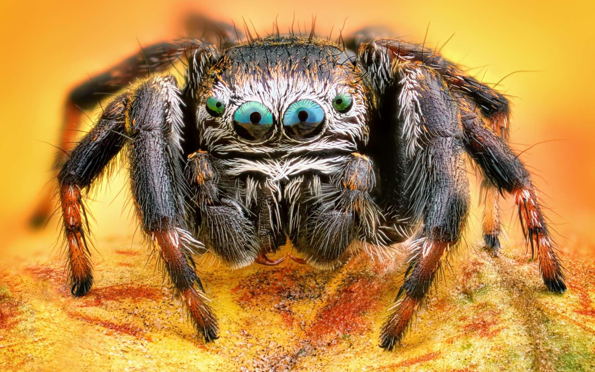 Les araignées pourraient devenir plus agressives lorsqu'elles vivent dans des zones touchées par les ouragans. © Sebastian, Adobe Stock