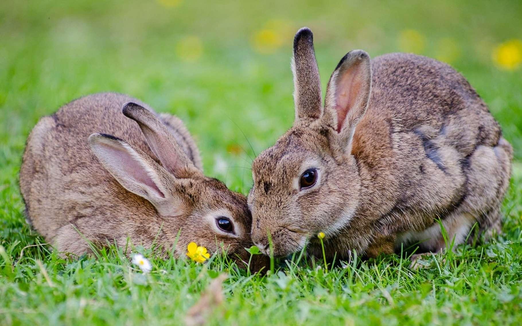 Certains animaux, comme les lapins, mangent leurs crottes pour en tirer des nutriments supplémentaires. © Skeeze, Pixabay, CC0 Public Domain