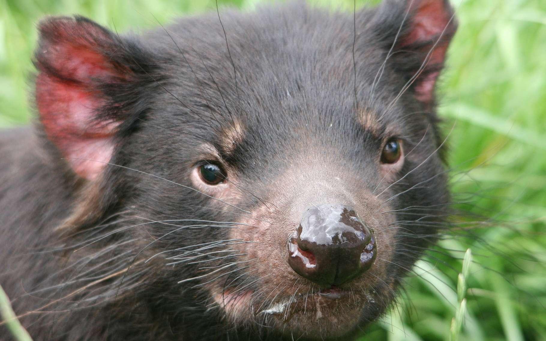 Le diable de Tasmanie est aussi appelé sarcophile, « qui aime les cadavres ». © Tim Ezzy, Shutterstock