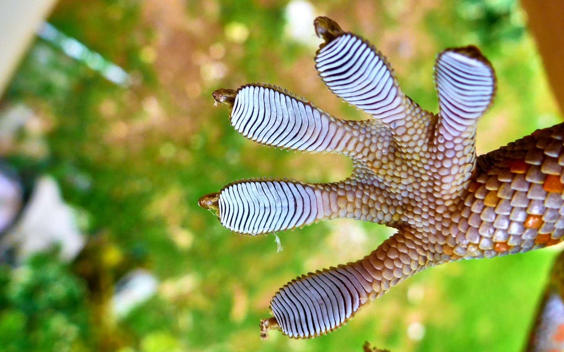 Des chercheurs de l'université de Stanford (États-Unis) se sont inspirés des pattes de gecko pour concevoir un « adhésif contrôlable » qui pourra, ils l'espèrent, nous aider à faire le ménage dans l'espace. © Viacheslav, Adobe Stock