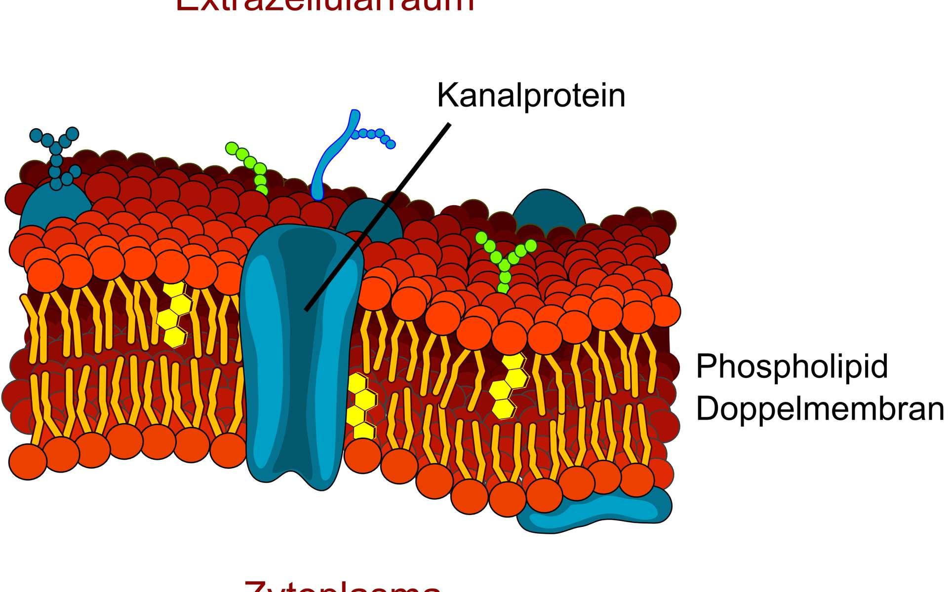 Schéma de l'organisation de la membrane plasmique d'une cellule eucaryote : milieu extracellulaire (Extrazellularraum), cytoplasme (Zytoplasma), protéine canal (Kanalprotein) et phospholipides (Phospholipid Doppelmembran). © LadyofHats, Wikimedia Commons, DP