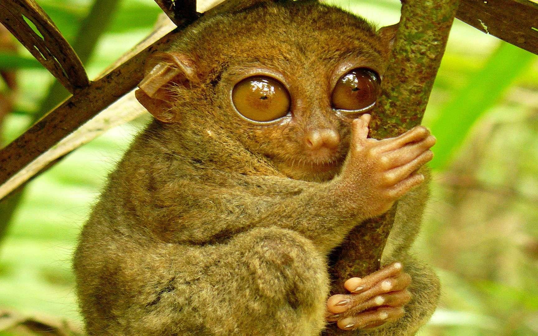 Le tarsier des Philippines, petit primate au cou élastique. Le tarsier des Philippines (Tarsius syrichta) est, comme son nom l'indique, une espèce endémique des Philippines. Il est incapable de bouger ses yeux mais peut tourner sa tête de 180 degrés. C'est l'un des plus petits primates du monde. Poids : entre 120 et 140 g Taille : entre 8 et 16 cm © Roberto Verzo, Flickr, cc by 2.0