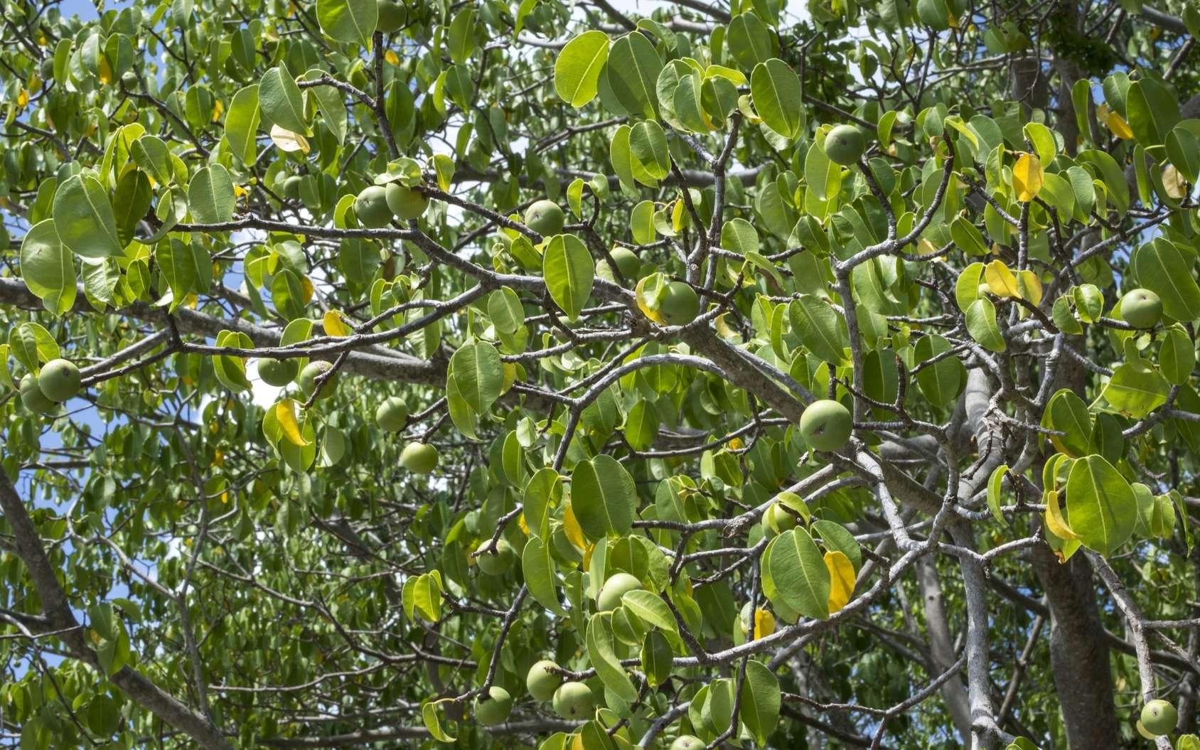 Photo de mancenillier. Les fruits du mancenillier sont mortels. © Shakzu, Fotolia