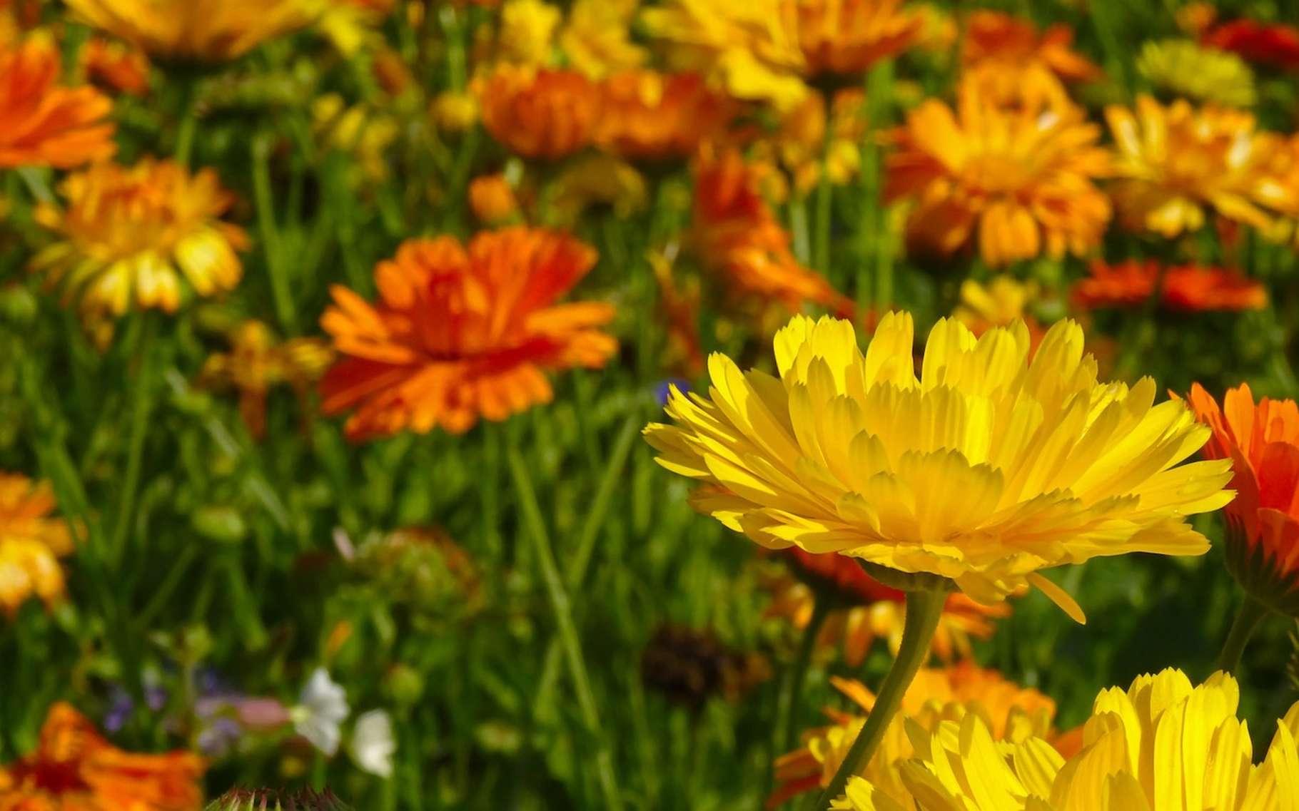 Les plantes à fleurs sont des angiospermes. © Jan-Mallander, Pixabay, DP