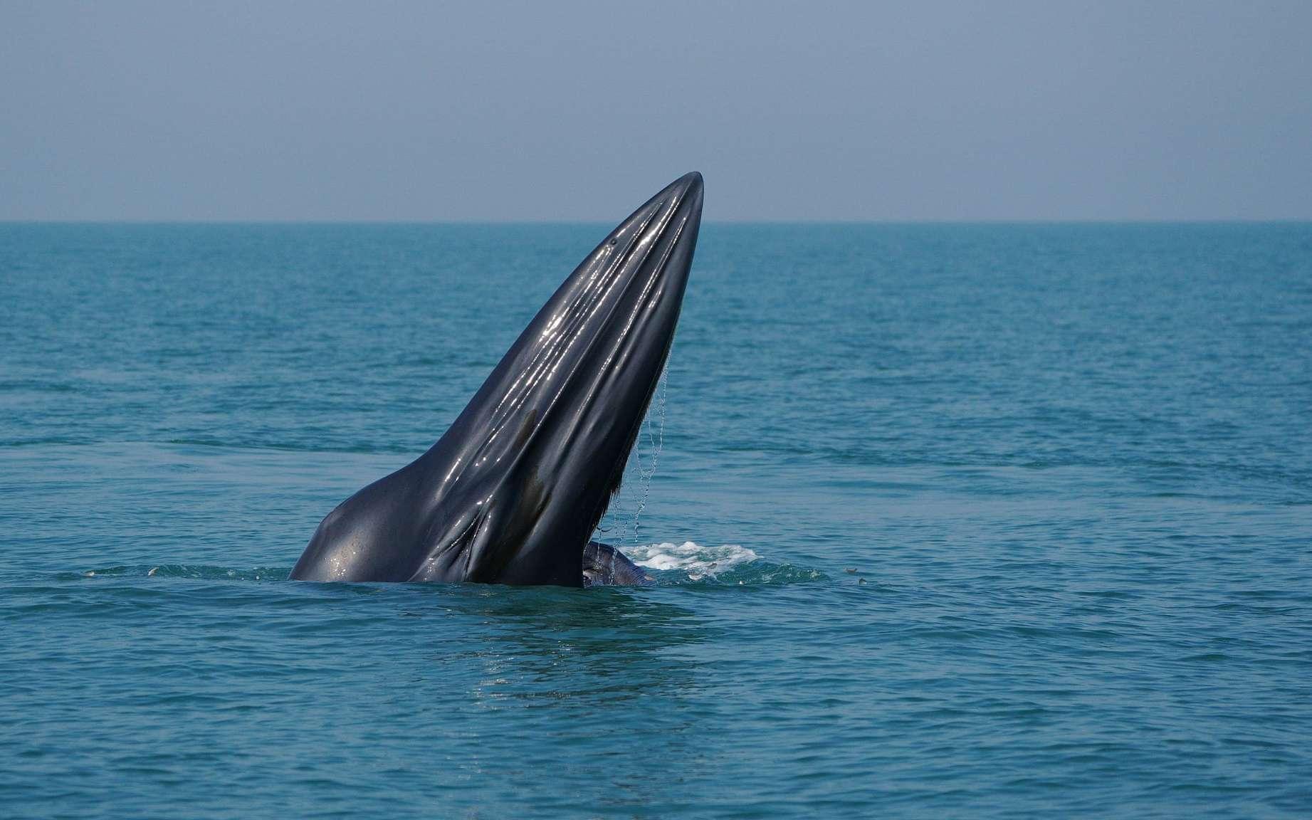 Une baleine de Bryde. © Xinhua, REX, Shutterstock