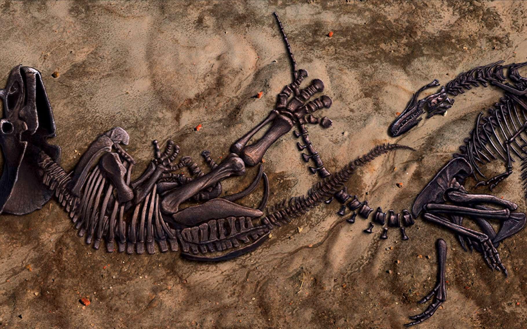 Le Musée d'histoires naturelles de Caroline du Nord (NCMNS) vient de racheter à des propriétaires privés, un fossile extraordinairement bien préservé semblant figurer un T-Rex et un Triceratops en plein duel. © Musée d'histoires naturelles de Caroline du Nord