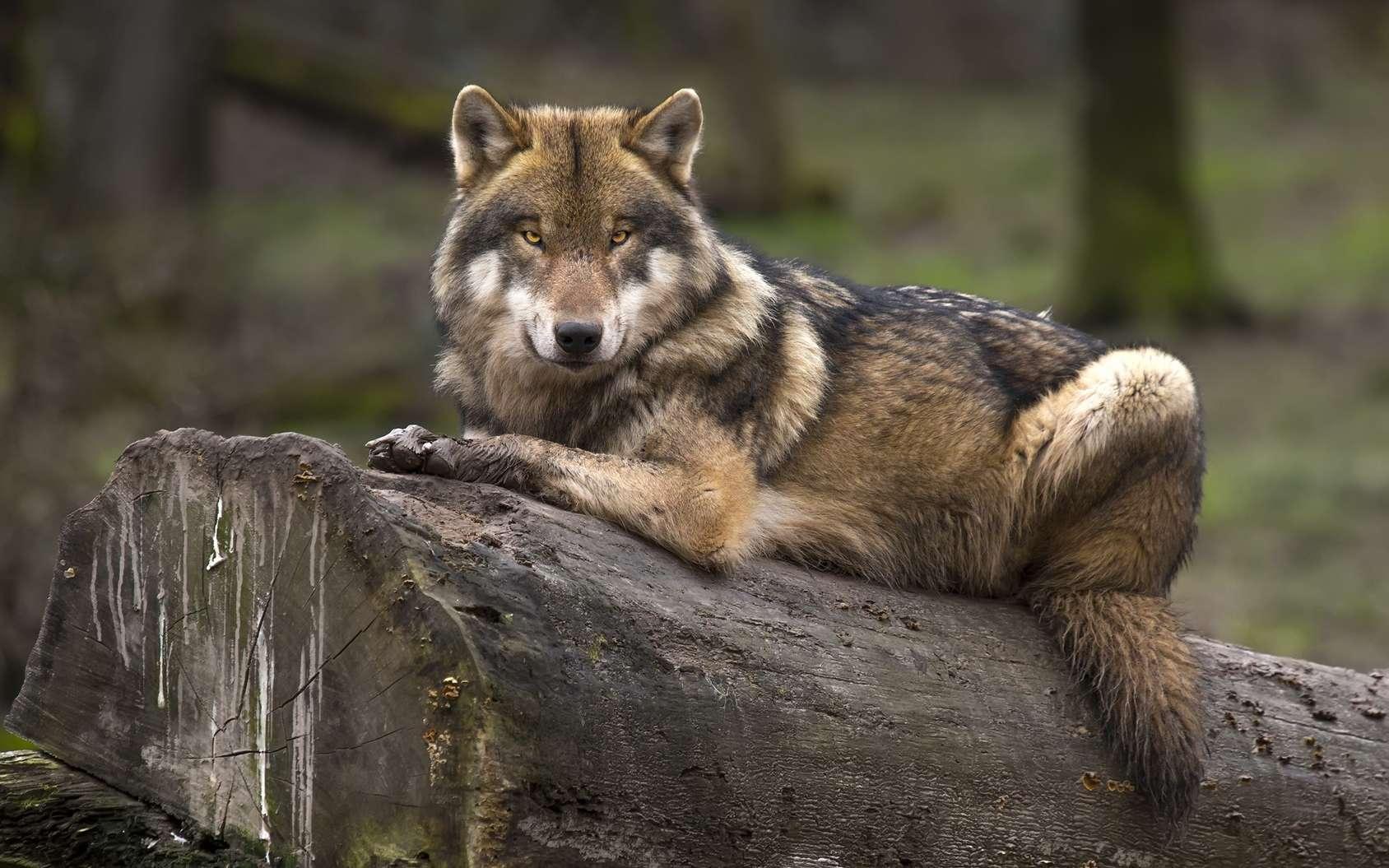 Si le loup vit de plus en plus en mangeant du bétail et des déchets alimentaires, sera-t-il finalement domestiqué par l'Homme ? © Patrick J., Fotolia
