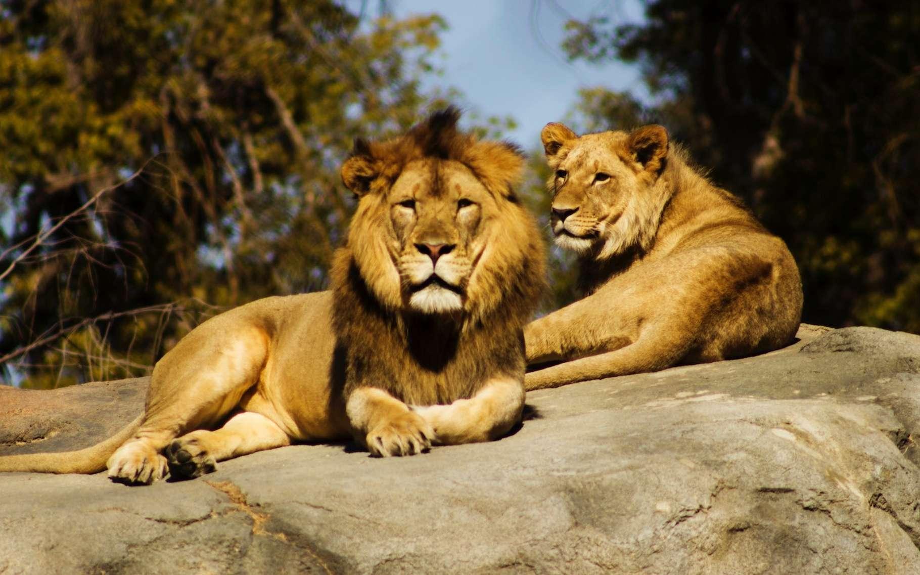 On parle de dimorphisme pour évoquer les différences entre des individus mâles et femelles d'une même espèce. Ici, le lion et la lionne. © Jeremy Avery, Unsplash