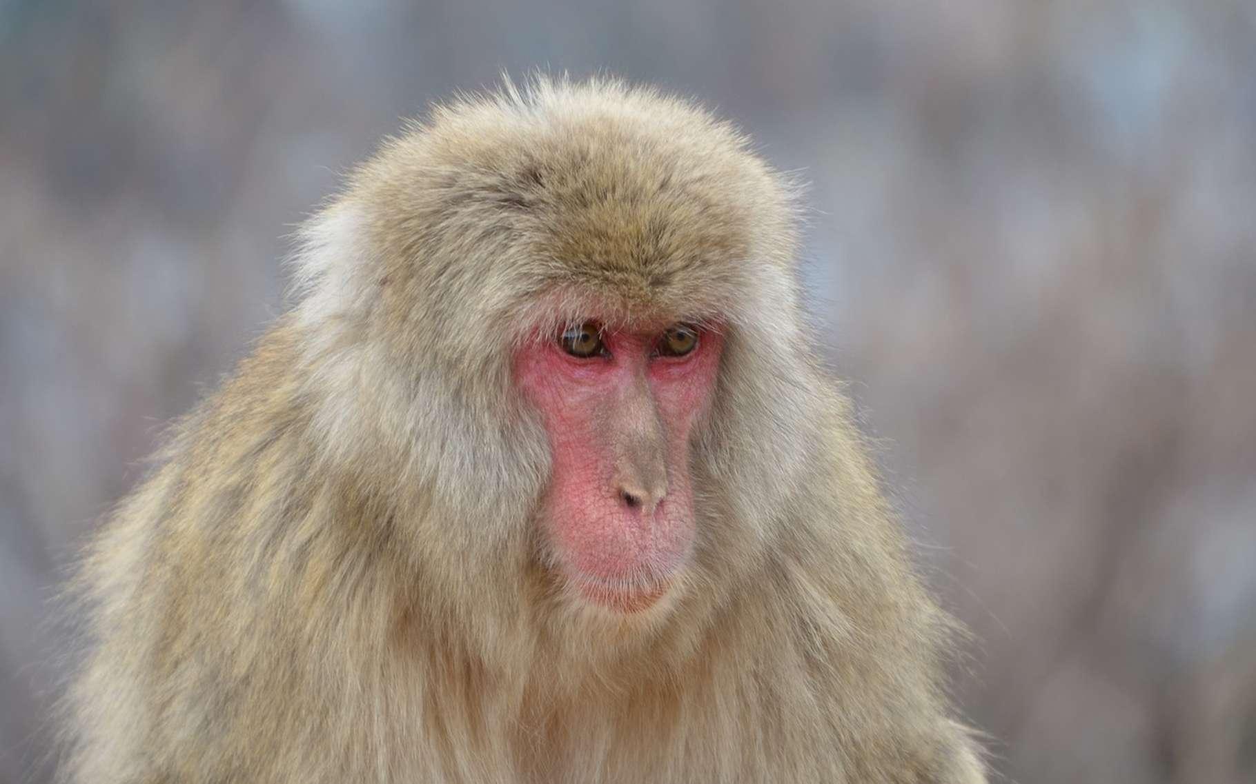 Une équipe de chercheurs canadiens a pu observer des interactions sexuelles entre macaques japonais et cerfs. © pen_ash, Pixabay, CC0
