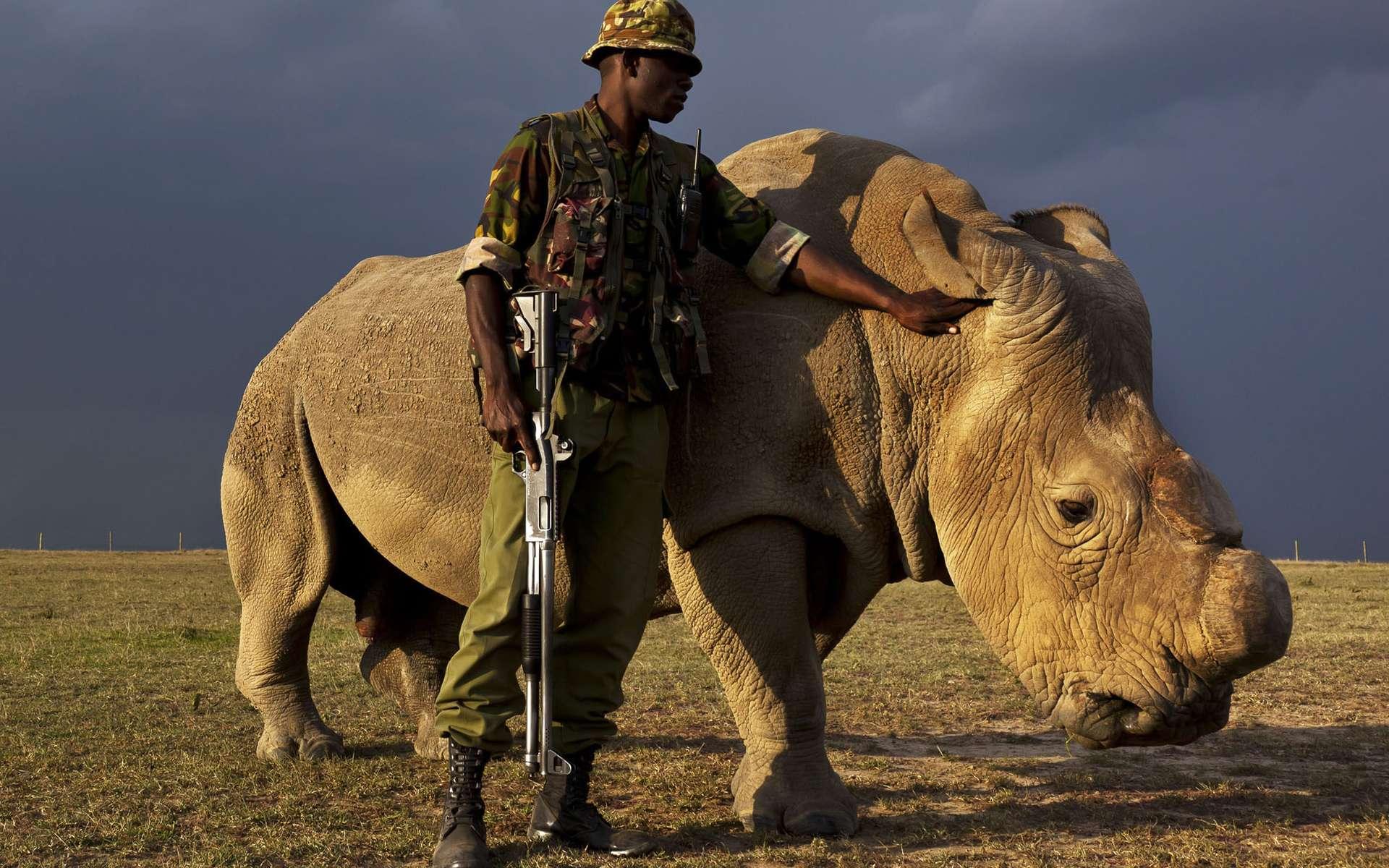 Depuis 2009, Sudan vit dans la réserve kenyane d'Ol Pejeta. Étant dès lors l'un des derniers rhinocéros blancs du Nord de la planète, il est constamment ou presque surveillé par des militaires. © Brent Stirton, National Geographic