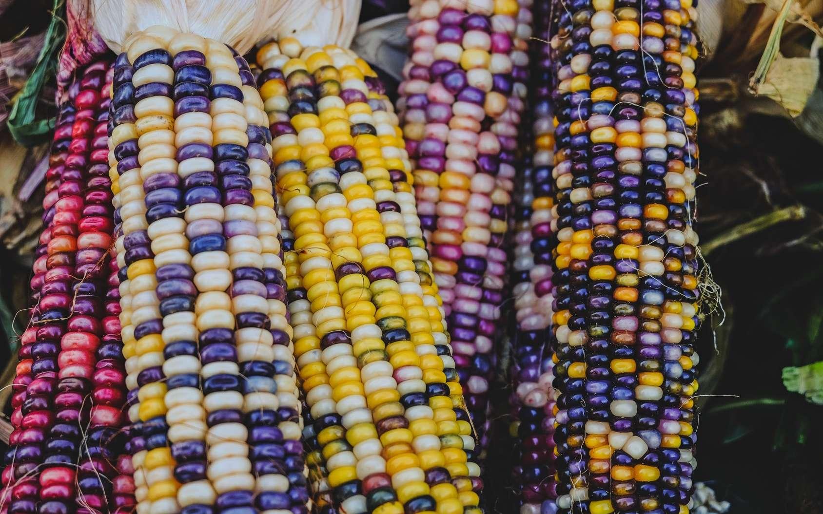Les motifs de couleurs des épis de maïs sont déterminés génétiquement. Ils ont permis des découvertes fondamentales grâce au génie d'une chercheuse américaine, Barbara McClintock. © Iryna Liveoak, Fotolia