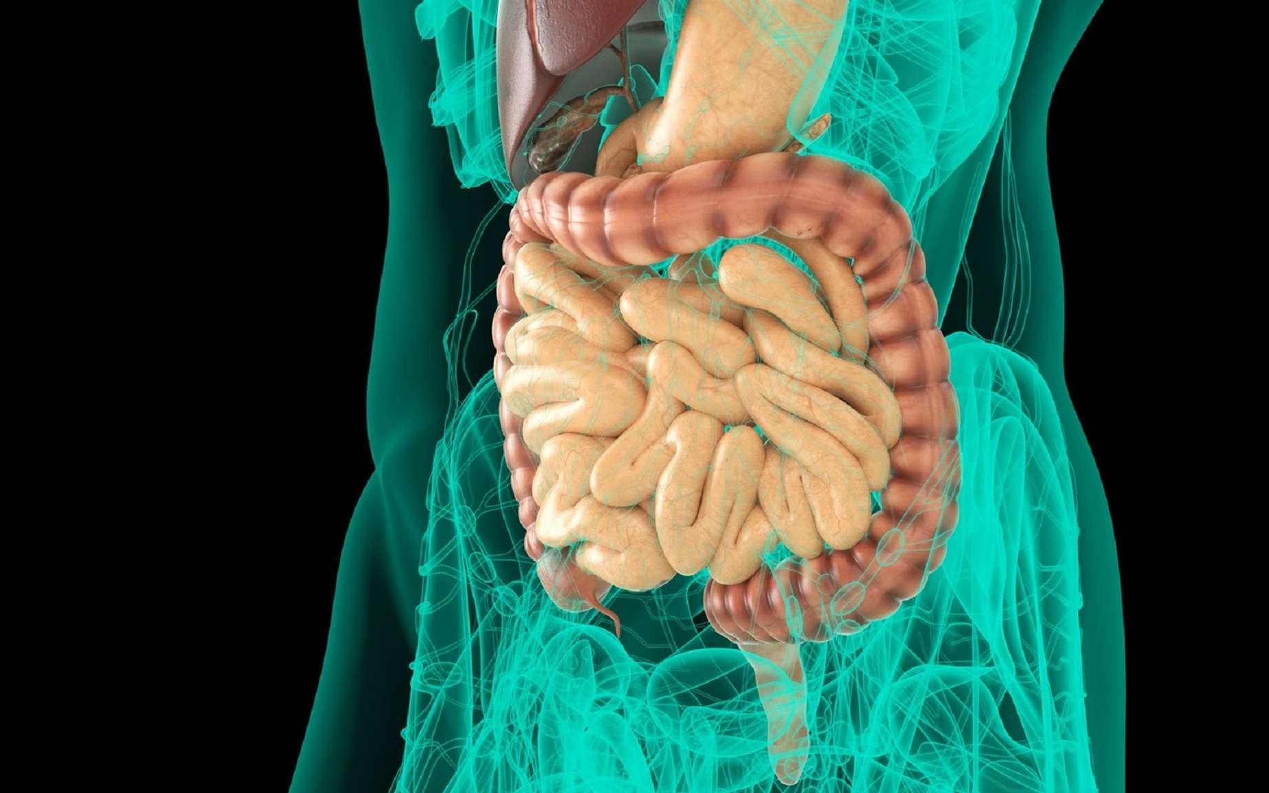 Le mésentère permet d'attacher l'intestin grêle à la cavité abdominale. © Two Brains Studios, Fotolia