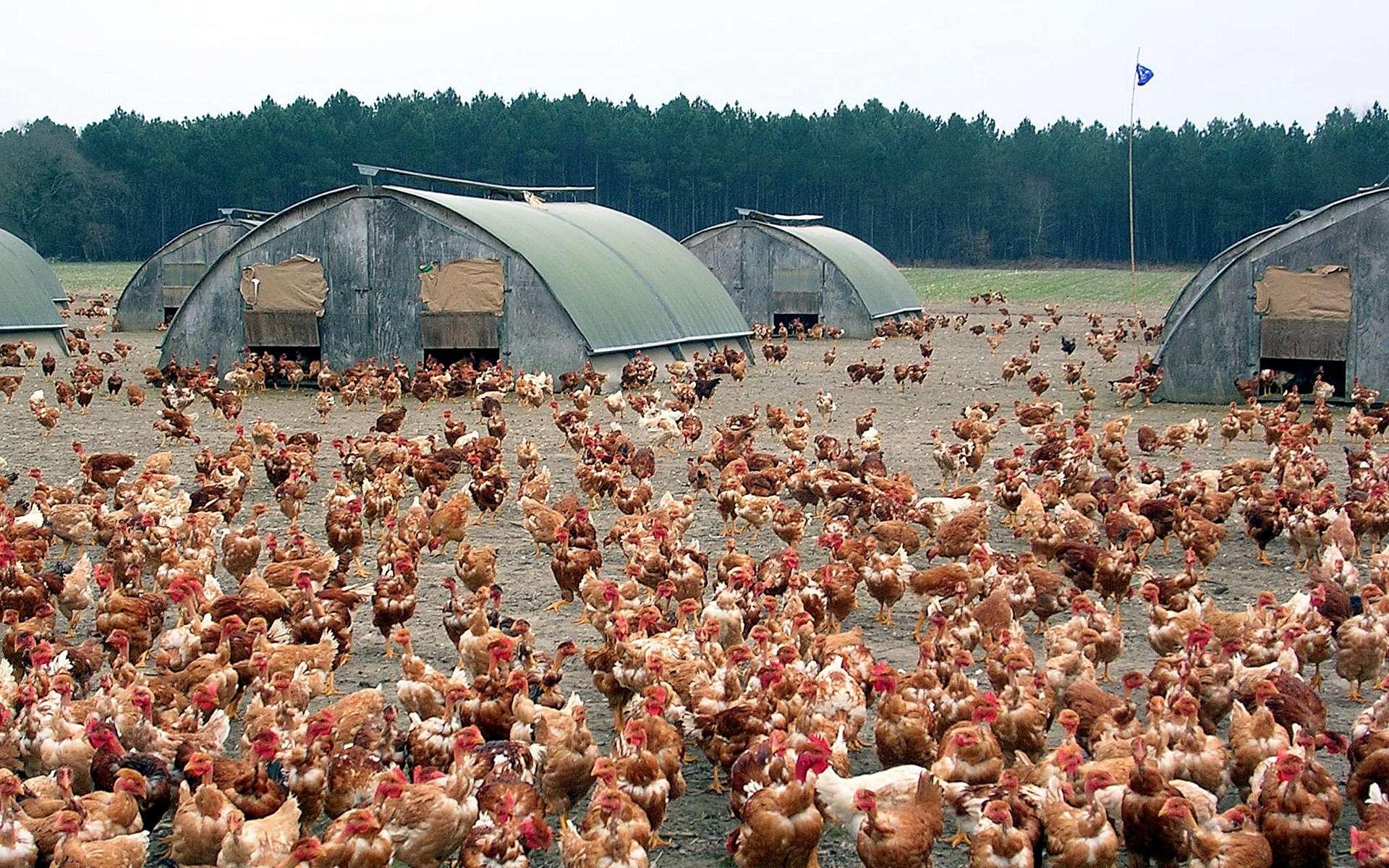 La grippe aviaire peut toucher des oiseaux domestiques et des oiseaux sauvages. © Jibi44, Wikimedia Commons