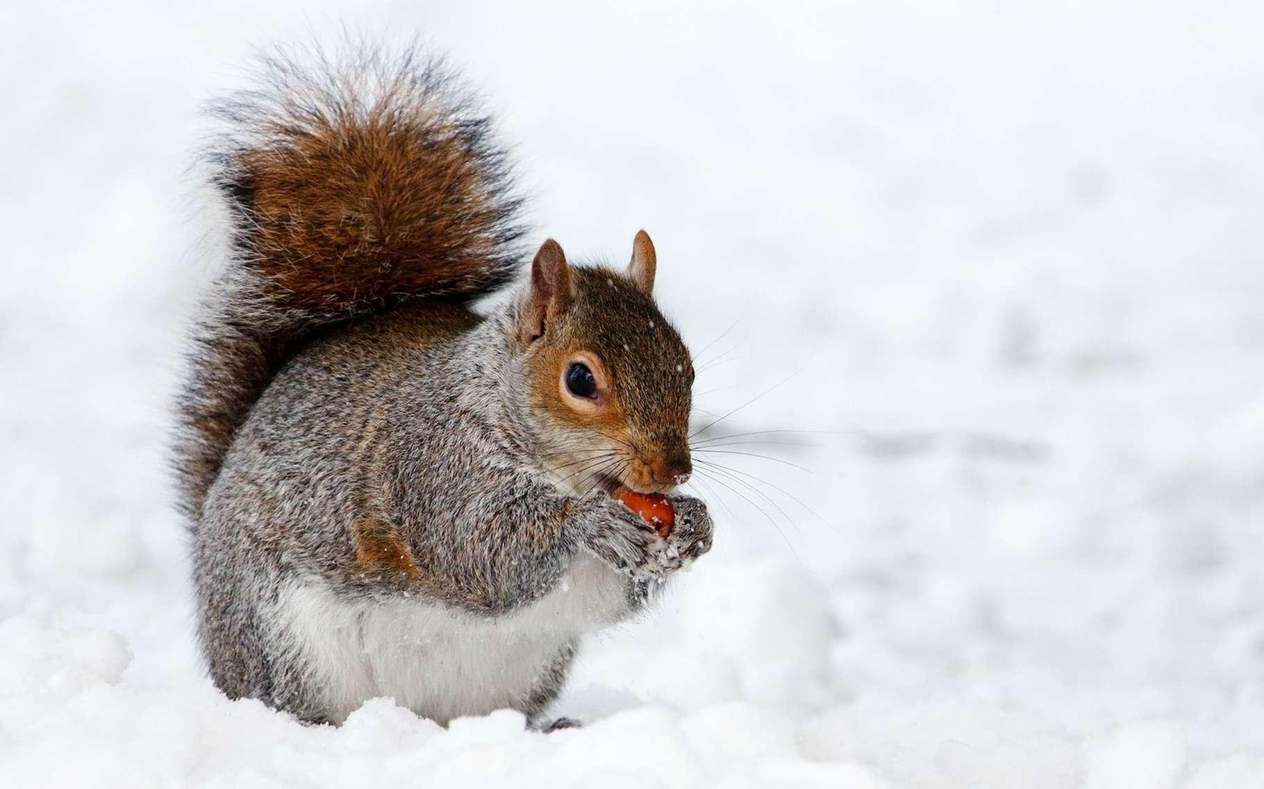 Lorsque les températures descendent, les animaux sauvages mobilisent différentes stratégies pour survire au froid. © PublicDomainPictures, Pixabay, CC0 Creative Commons