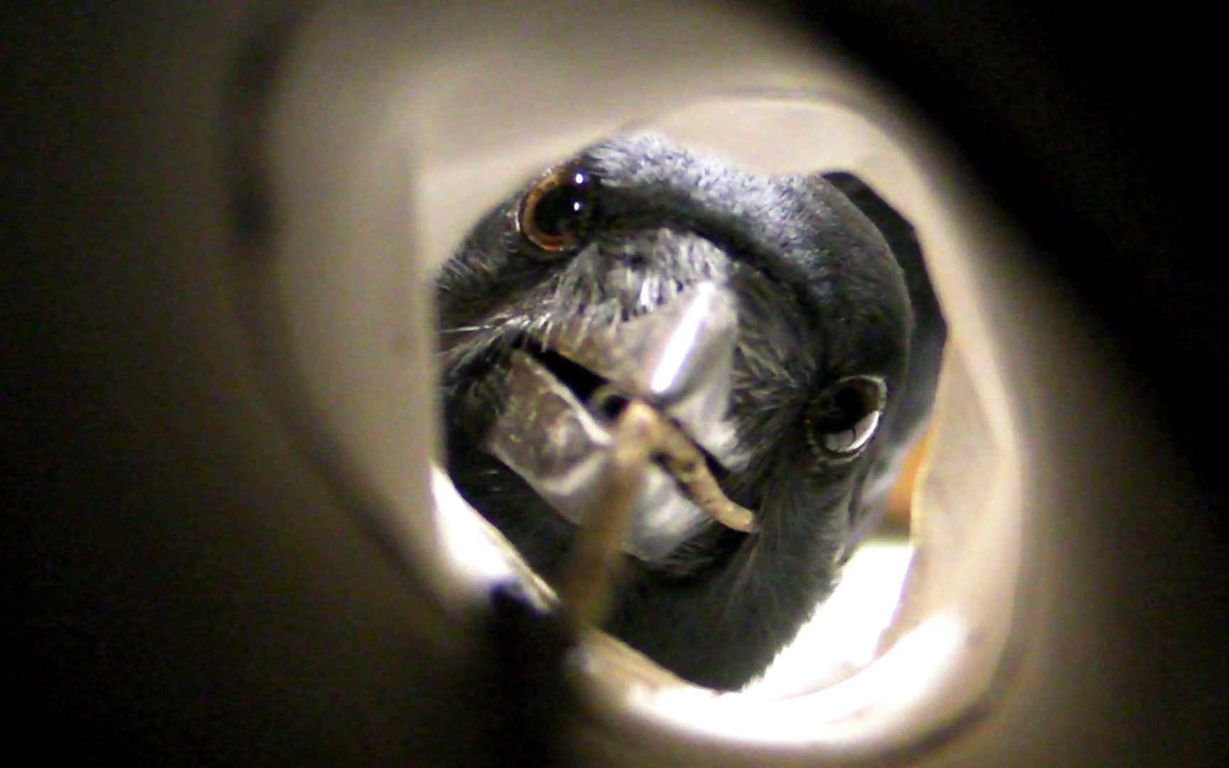 Admirez comment ce corbeau calédonien oriente ses yeux vers l'avant lorsqu'il emploie un outil. Cette espèce utilise notamment des pics pointus pour attraper des larves de cérambycidés, des coléoptères vivant notamment dans des troncs morts de bancouliers (Aleurites moluccana). © Jolyon Troscianko (University of Birmingham) et Christian Rutz (University of St-Andrews)