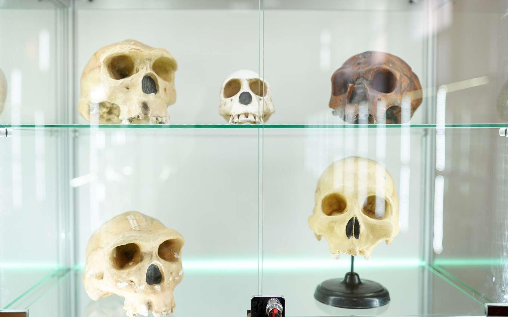 L'analyse de dents fossiles de Néandertal et d'Homo sapiens suggère qu'ils ont divergé il y a au moins 800.000 ans. © Nastya, Fotolia