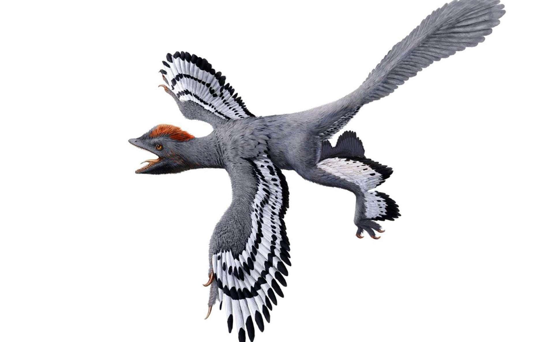 Une représentation probablement fidèle d'Anchiornis, un dinosaure à plume du Jurassique. © Julius T. Csotonyi