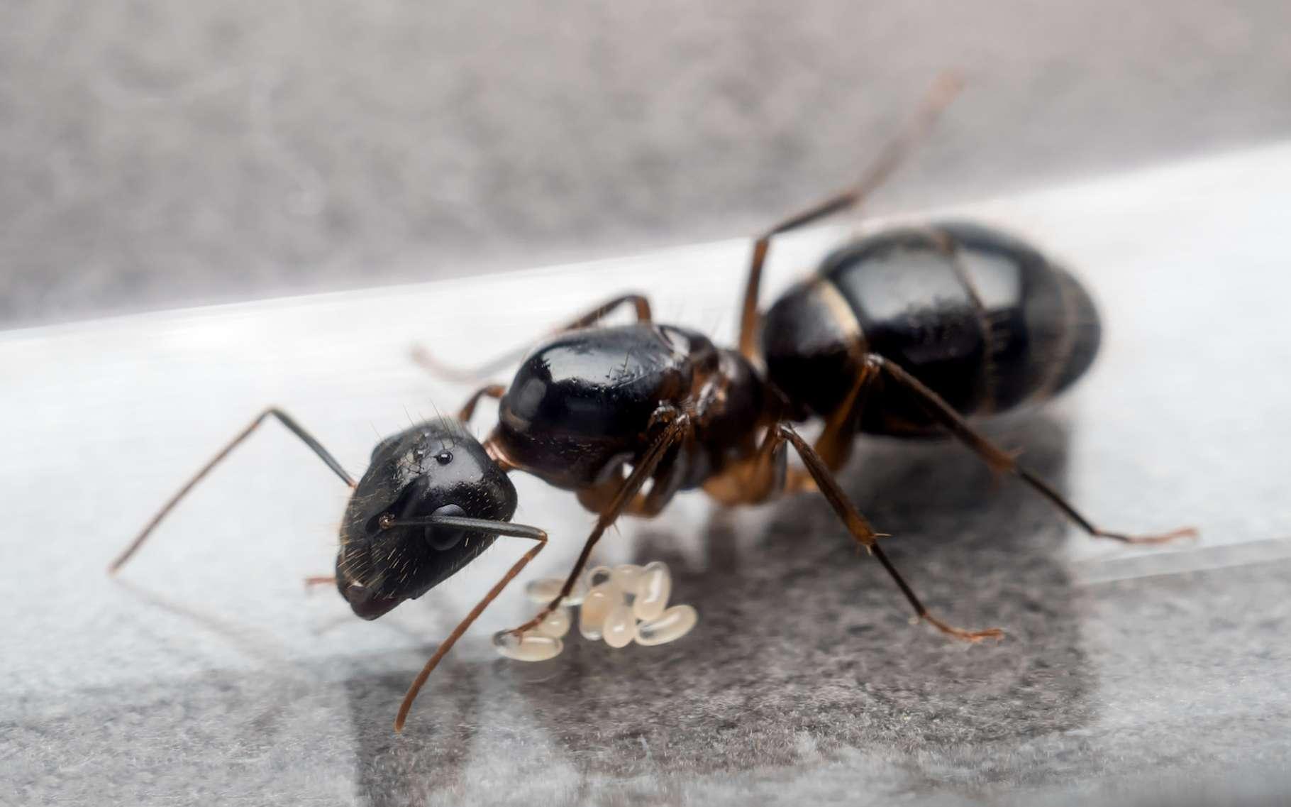Des animaux zombies, c'est possible ? Des chercheurs se sont récemment intéressés à la façon dont un champignon transforme les fourmis charpentières en véritables zombies. © poravute, Fotolia