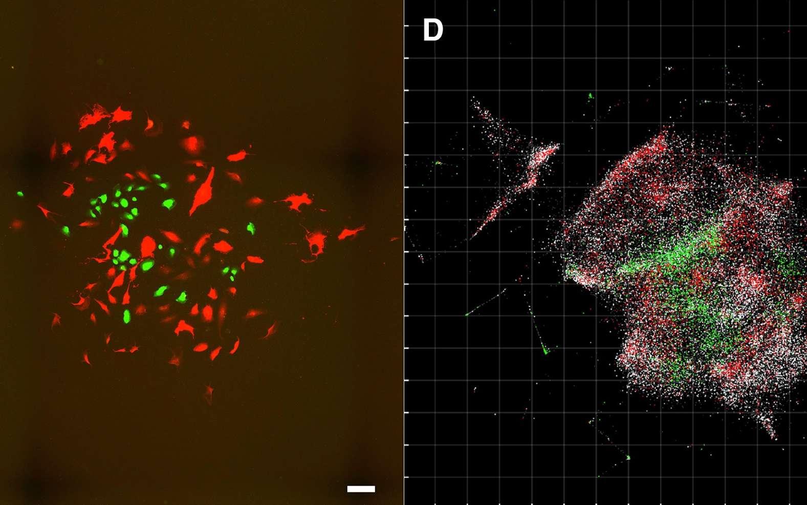 À gauche : un échantillon vu par microscopie optique. À droite, l'échantillon vu par le microscope à ADN. © Joshua Weinstein, Cell, 2019