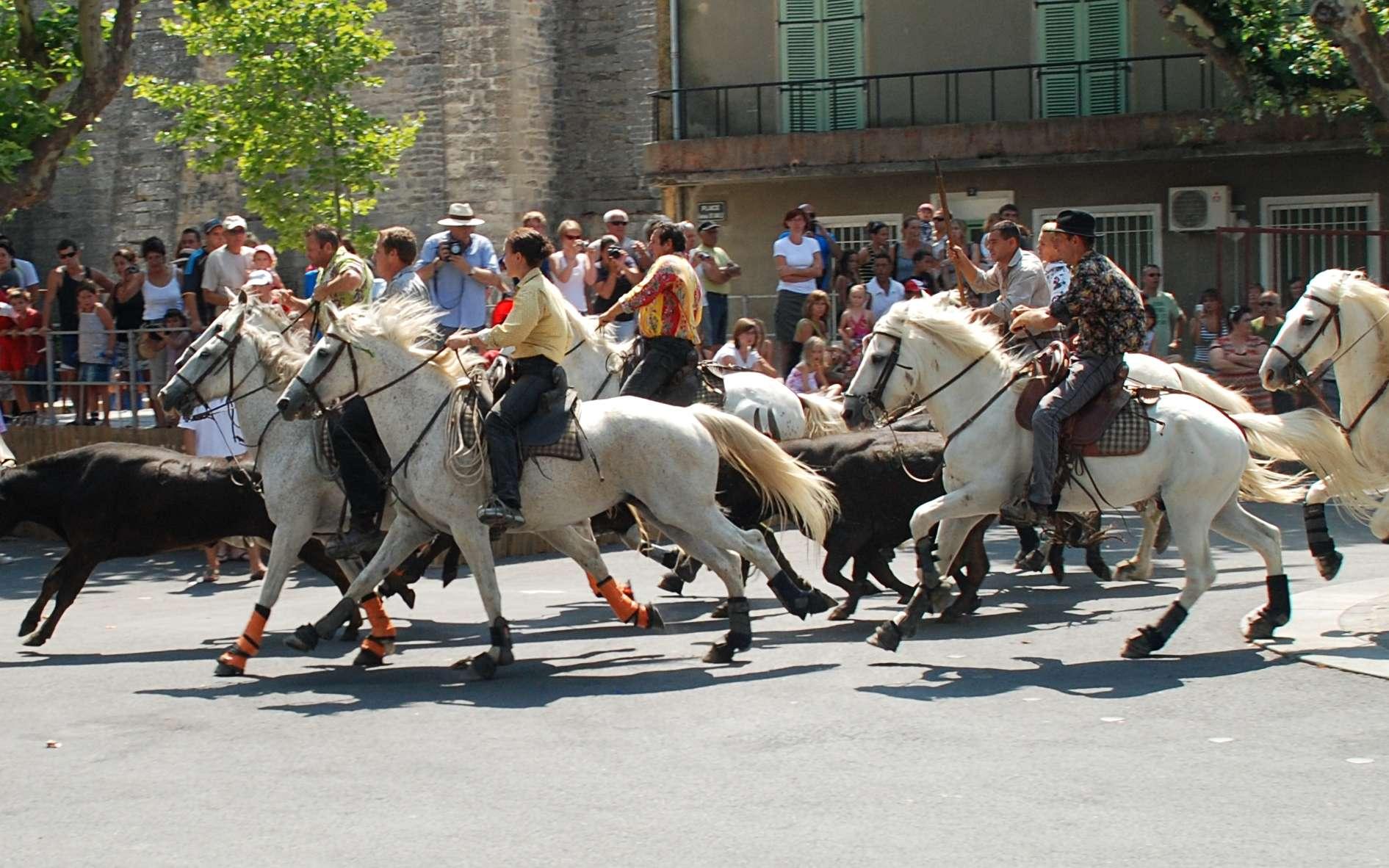 L'abrivado, traditionnel rituel d'une feria camarguaise, consiste à emmener le taureau de sa manade à l'arène. Ici, dans le village de Calvisson (Gard). © EmDee, Wikimedia Commons, CC by-sa 3.0