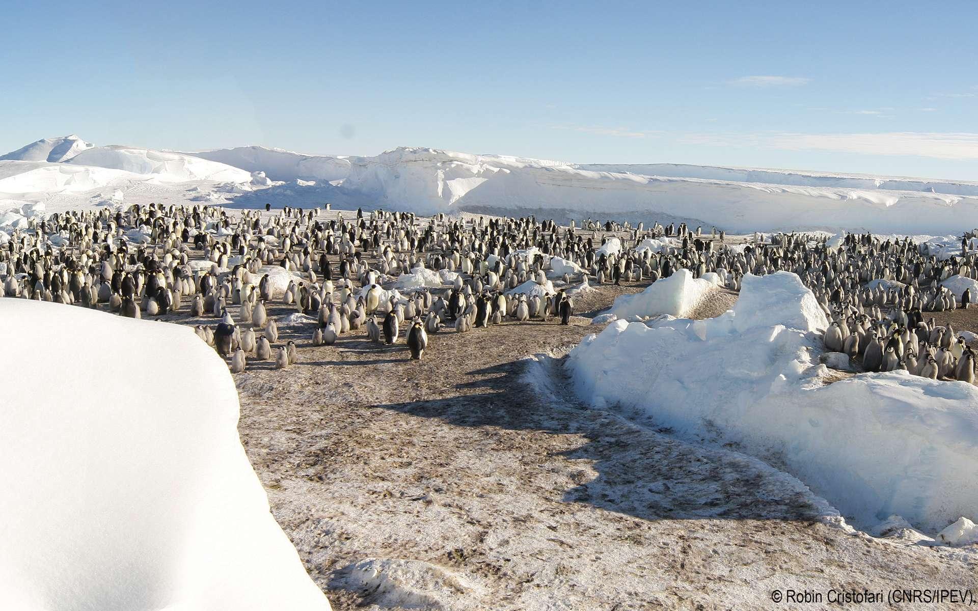 La colonie 1 de manchots empereurs sur la glace de mer a pu être observée grâce à d'importants moyens qui ont permis de naviguer dans ces glaces. © Robin Cristofari/CNRS-Ipev