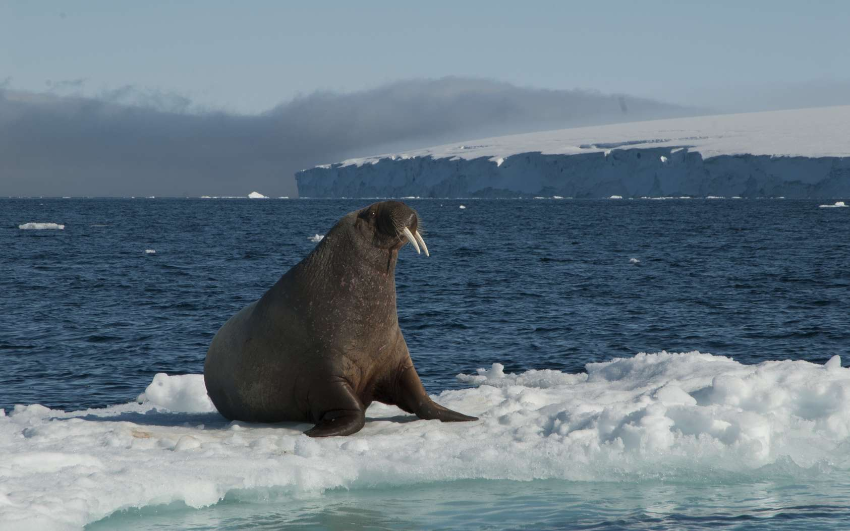 Les populations de morses se réduisent en Arctique, sous l'effet de différents facteurs. © Silver, Fotolia