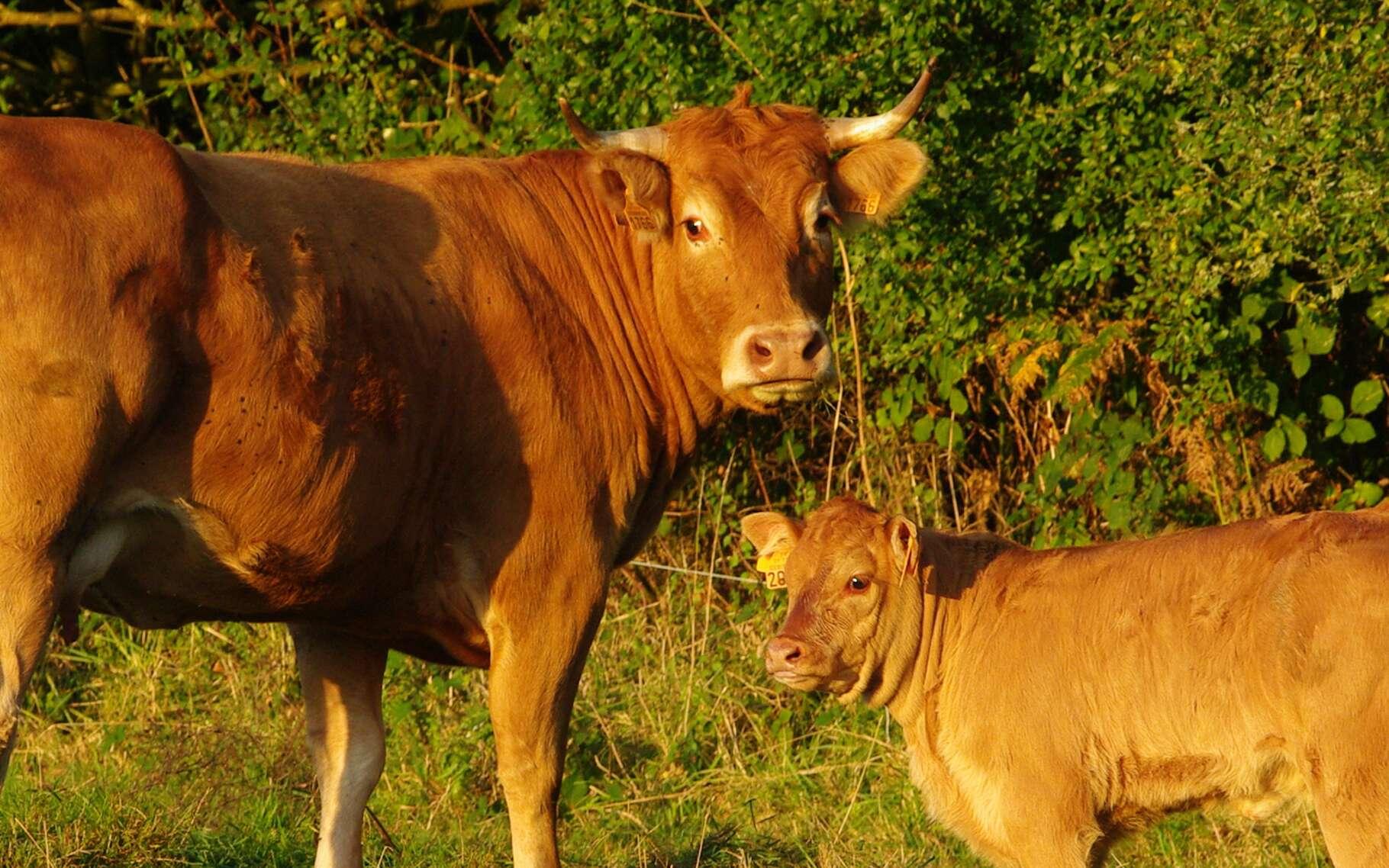 Apprenez à découvrir la vache limousine. Elle en vaut la peine. © DR