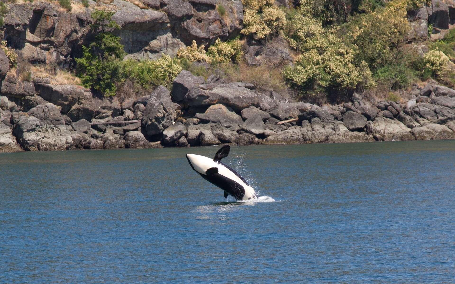 Les orques, ou épaulards, sont de puissants cétacés prédateurs largement répartis dans les océans. © jazapp, Pixabay