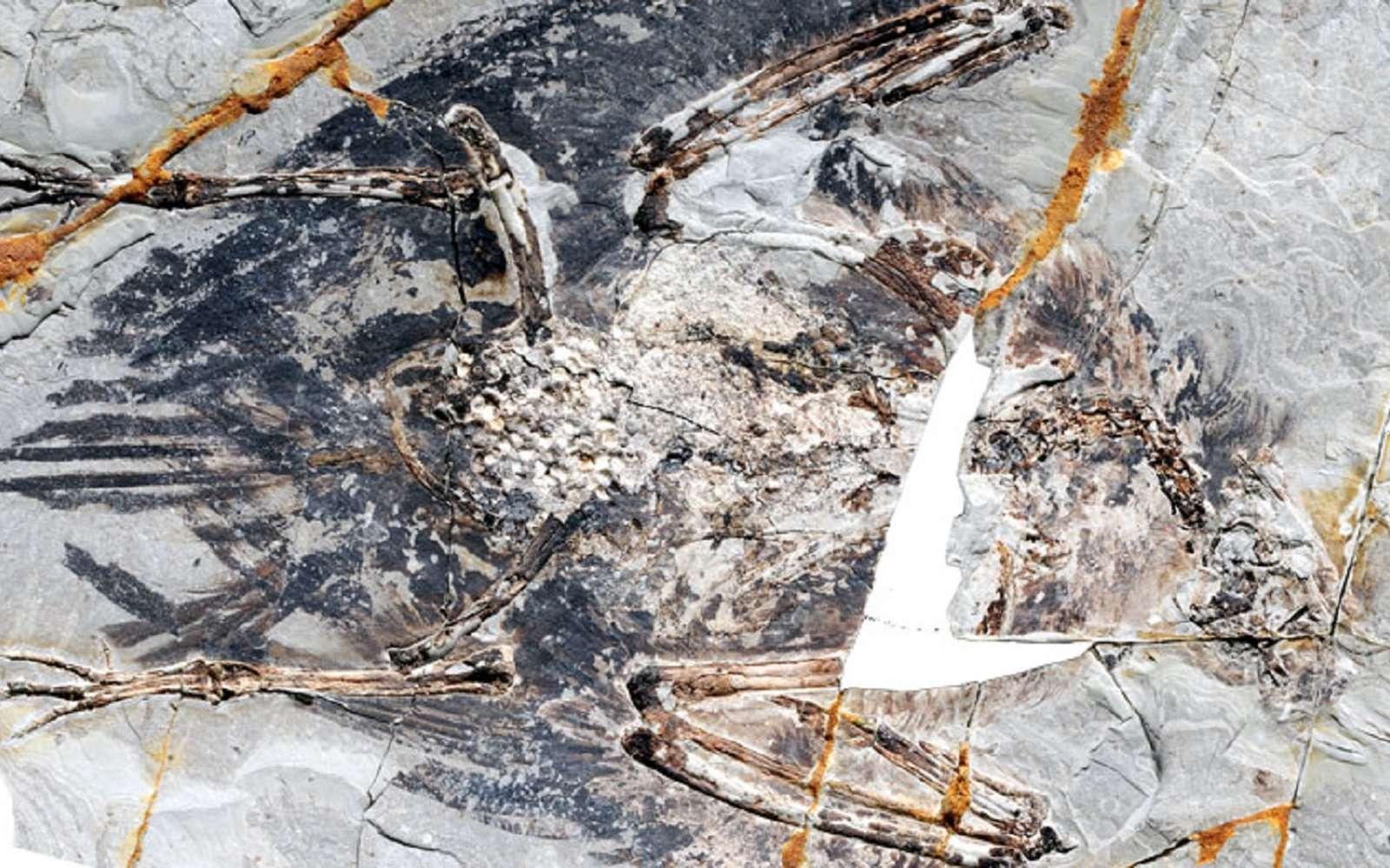 Des poumons ont été préservés sur un fossile d'oiseau du Crétacé. C'est sans précédent. © Xiaoli Wang et al., Pnas, 2018