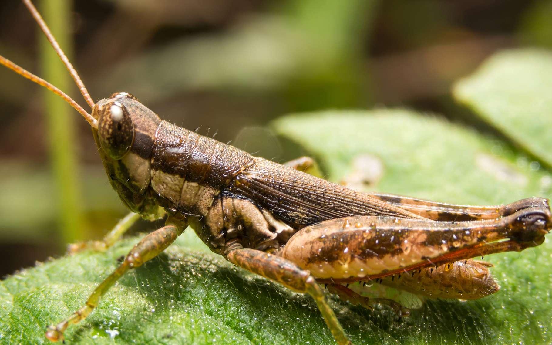 Quel insecte est le plus grand ? le plus gros ? le plus long du monde ? Non, ça n'est pas ce criquet… © Shutterstock