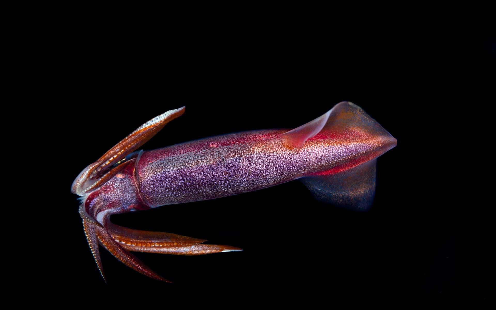 Une part du génome de l'insaisissable calamar géant décodée