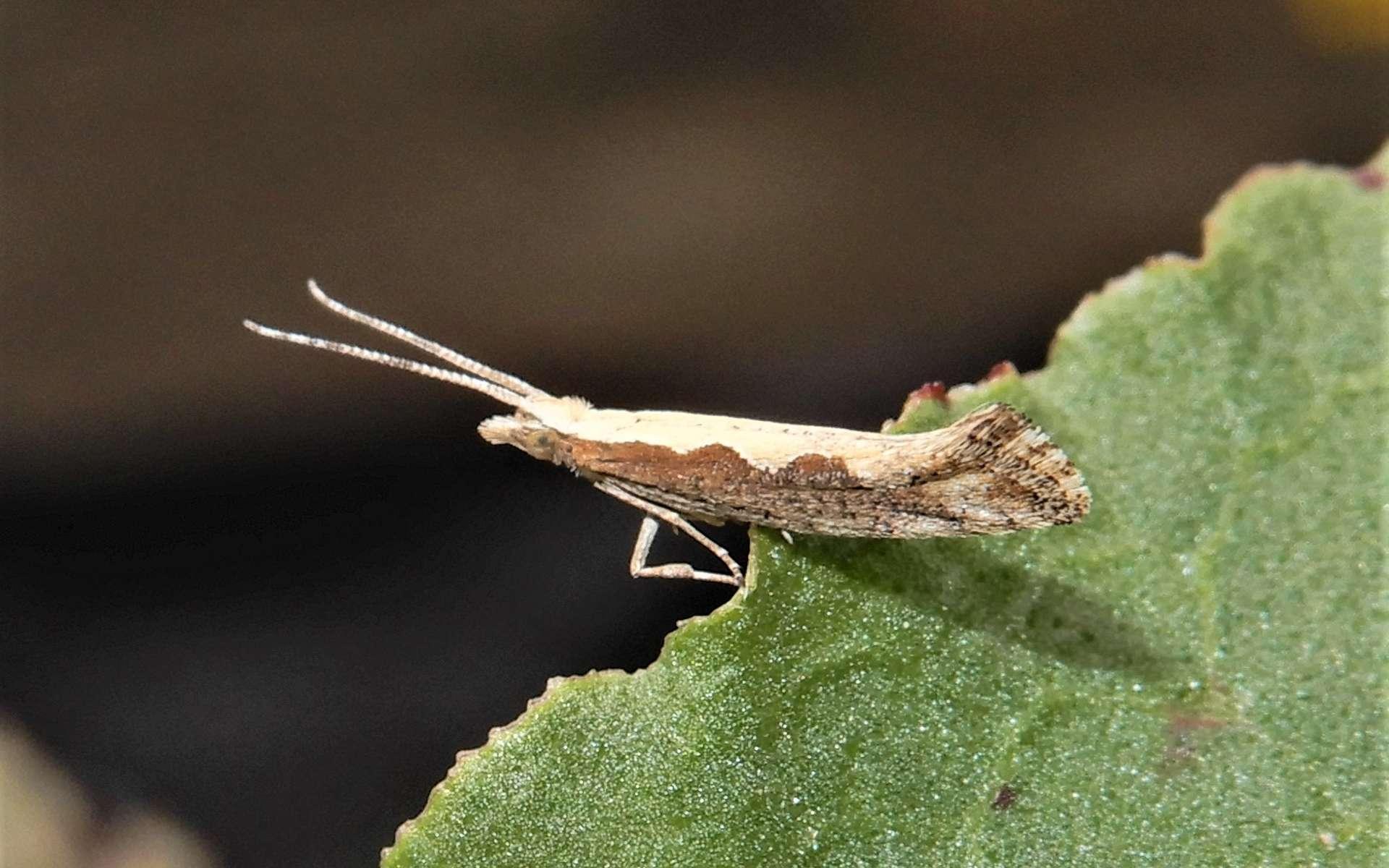 Les insectes génétiquement modifiés, une alternative aux pesticides ? © grey, iNaturalist