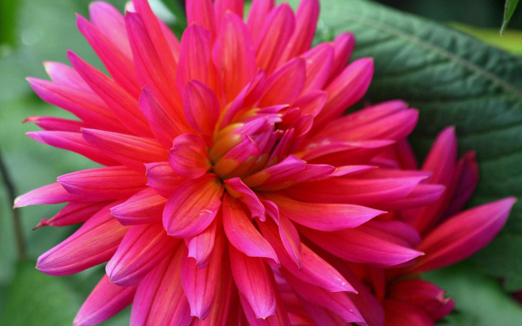 Dahlia Changing Color. © Michel Caron