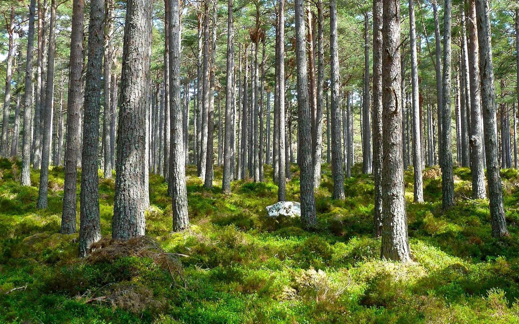 Les arbres absorbent le CO2 et l'utilisent pour leur croissance. Une étude australienne conclut que la fixation du carbone qui en résulte pourrait avoir été surestimée. © MempryCatcher, Pixabay, CC0 Public Domain