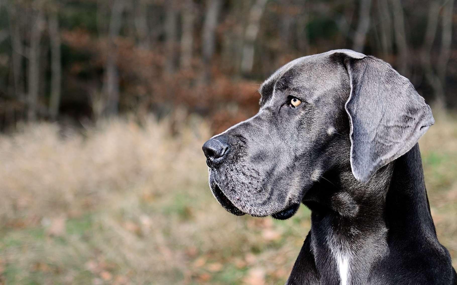 Selon leur race, les chiens atteignent le seuil de sénescence à des âges différents : vers 7 ans, par exemple, pour les plus grands. © mtajmr, Pixabay, CC0 Creative Commons