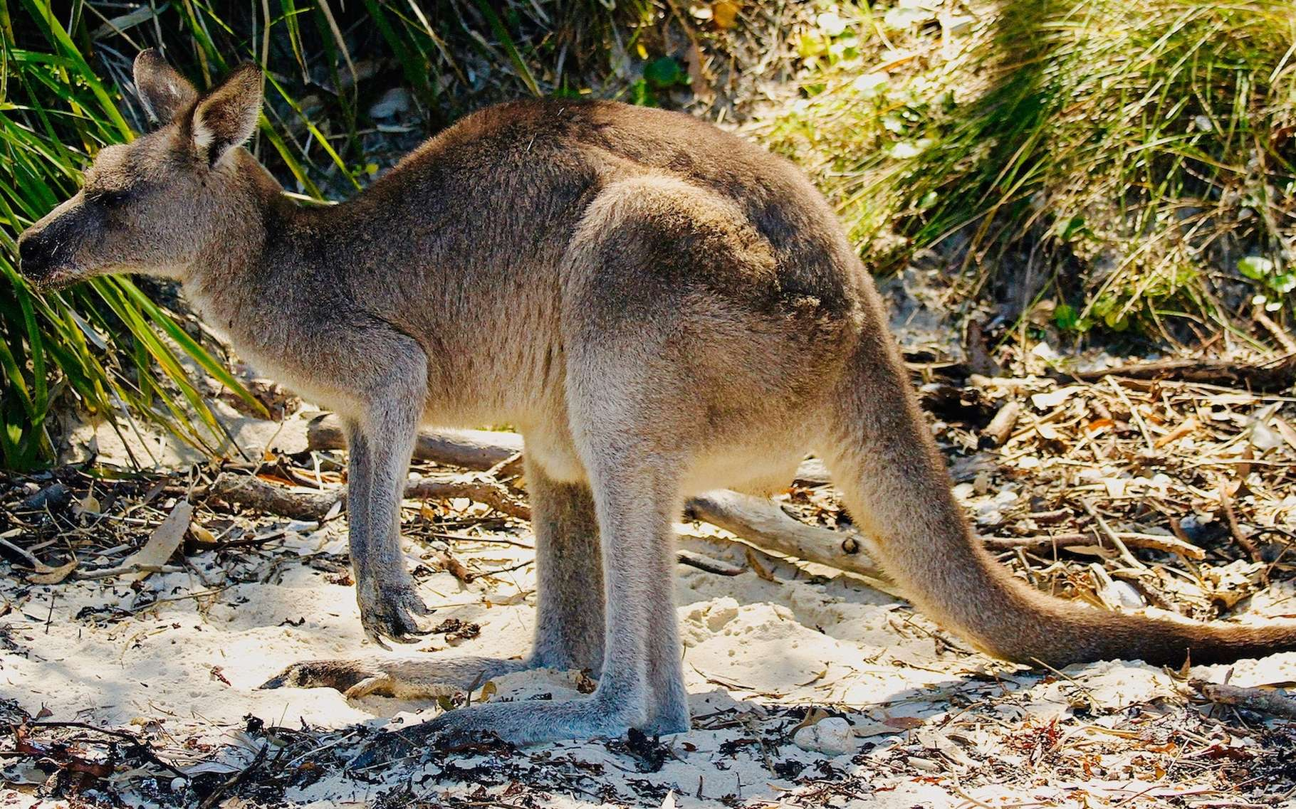 Le kangourou n'est pas un animal à trois pattes, mais il se sert volontiers de sa queue comme d'une troisième patte factice. © James Wainscoat, Unsplash