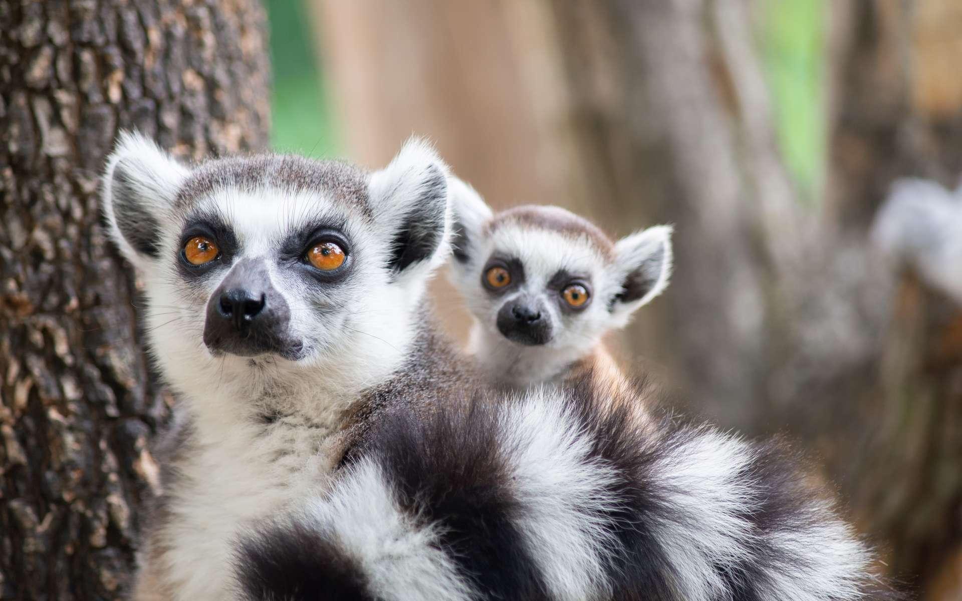 Principalement en raison de la déforestation et de la chasse, 103 des 107 espèces de lémuriens sont menacées. © MaZiKab, Adobe Stock