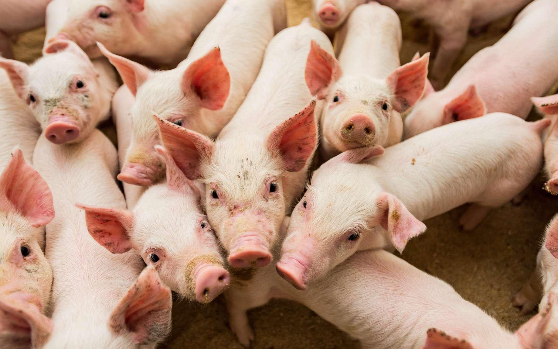 L'Espagne compte 64 porcs pour 100 habitants. © surfmedia, Fotolia