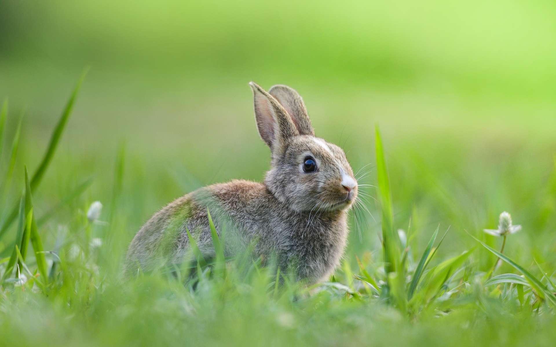 Le lapin, herbivore, est un consommateur primaire. © Engdao, Adobe Stock