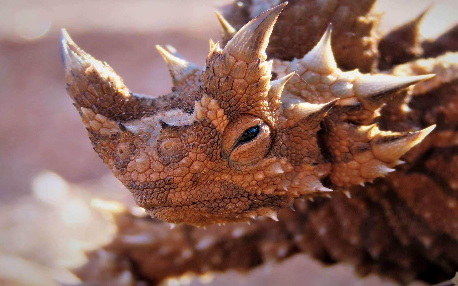 Au palmarès des animaux étranges qui nous fascinent, le diable cornu — que les scientifiques appellent plus volontiers Moloch horridus — arrive en bonne position. C'est un saurien qui vit dans le désert australien. Il ne mesure pas plus de 20 centimètres et les femelles — les plus grosses — ne pèsent même pas 100 grammes. La couleur de son corps lui permet de parfaitement se camoufler dans le sable et les épines qui le recouvrent, d'éloigner les prédateurs.Il intéresse les chercheurs, car il est capable pour boire à sa soif, de capter l'humidité de l'air en faisant couler des gouttelettes entre ses écailles et jusqu'à sa bouche, mais aussi jusqu'à sa peau. Un exemple peut-être à mimer pour mettre au point un système mécanique capable des mêmes prouesses. © M.c.c.1999, Wikimedia, CC by-SA 4.0