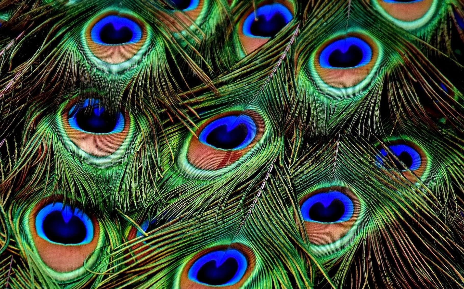 Les plumes de paon présentent des structures périodiques à l'origine d'une magnifique iridescence. © Alexas_Fotos, Pixabey, CC0 Creative Commons