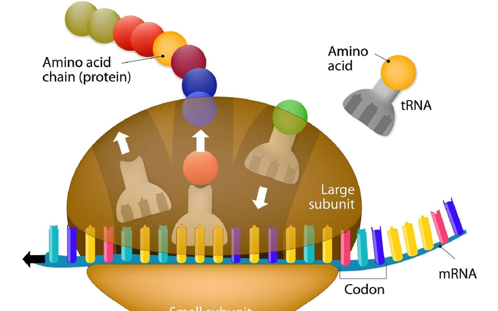 Lors de la traduction de l'ARN, les ARNt apportent les acides aminés à insérer dans la chaîne polypeptidique en formation. © designua, Fotolia