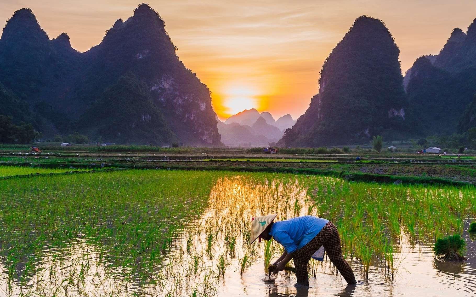 Les activités humaines – la culture du riz et l'élevage comptant parmi les plus difficiles à limiter – sont responsables de plus de 60 % des émissions de méthane votre l'atmosphère terrestre. «Éliminer le méthane de notre atmosphère nous donnerait du temps pour trouver des solutions permettant de traiter le problème des émissions de CO2», explique Rob Jackson, professeur à l'université de Stanford (États-Unis). © Hoang Tuan_photography, Pixabay License
